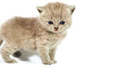 Stand kitten Stock Images