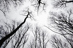 Stand of leafless trees in silhoutte Royalty Free Stock Images