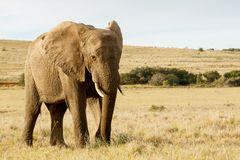 Stand and Lets take a photo of me -  The African Bush Elephant Royalty Free Stock Photography