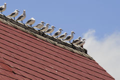 Stand in line. Seagulls standing in line on roof apex Royalty Free Stock Image