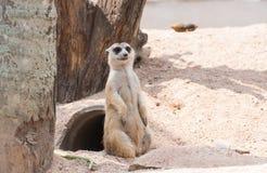 Stand Meerkat Stock Image