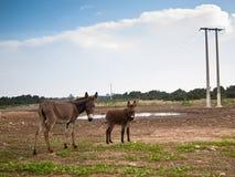 Stand mit zwei Eseln auf dem Gras Stockbild