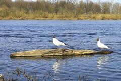 Stand mit zwei Seemöwen auf dem hölzernen Baumstumpf Stockfotografie