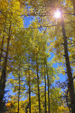 A Stand of Mountain Aspens with Lens Flare Stock Image