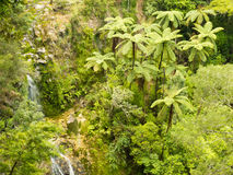 Stand of NZ tree ferns in rainforest wilderness. Grove of endemic New Zealand rainforest fern trees in lush green wilderness Royalty Free Stock Photography