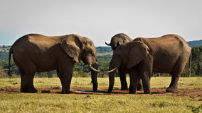 Stand Off - African Bush Elephant. Stand Off - The African bush elephant is the larger of the two species of African elephant. Both it and the African forest stock image