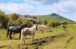 Stand-Off Donkey Versus Wild Ponies Grayson Highlands Virginia Stock Photography