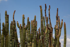 Stand of Organ Pipe Cactus royalty free stock photos