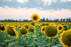 Stand out and be different concept photo. Sunflower head is above and stands out among all other sunflowers against the background royalty free stock images