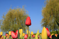 Stand out in a crowd. Beautiful spring tulips inspire the slogan, Stand Out in a Crowd Stock Photos
