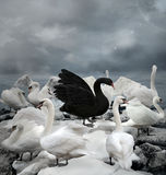 Stand out of the crowd. The black swan Stock Image