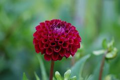 Stand out from the Crowd - Diva - Wine Colored Dahlia Blossom royalty free stock photo