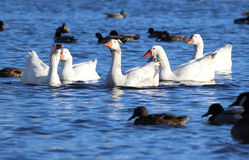 Stand out from the Crowd. A flock of white geese stand out from a crowd of dark mallard ducks at a lake Stock Photography