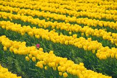 Stand Out Tulip Stock Photography