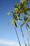 Stand of palm trees against a blue sky Stock Photo