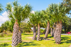 Stand of Palm Trees. A stand of palm trees with park bench and picnic table in background royalty free stock image