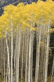 Stand of Quaking Aspen Trees. A tall, dense stand of aspen trees show their autumn colors Royalty Free Stock Photos