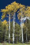 Stand of Quaking Aspens. Quaking Aspens stand at the edge of a mountain meadow Royalty Free Stock Image