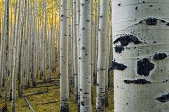 Stand of Quaking Aspens Royalty Free Stock Images