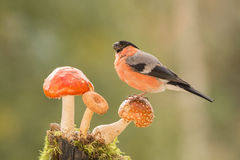 Stand with reds. Profile of a bullfinch  standing on a mushroom Stock Photo