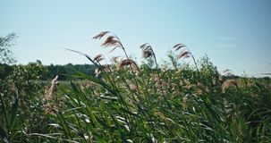 A stand of reeds swaying in the breeze. A stand of reeds near a lake slowly swaying in the breeze on a sunny day stock video