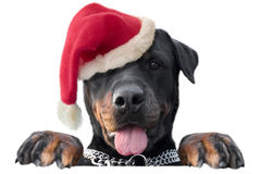 Stand Santa Rottweiler Royalty Free Stock Photography