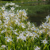 Stand of Shoal Lilies up close Stock Images