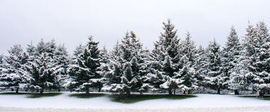 Stand of Sitka Spruce. A stand of Sitka Spruce is covered with a fresh coating of snow Stock Photos