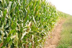 Sweet corn ready for harvest royalty free stock photos