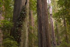 A stand of tall redwood trees Royalty Free Stock Image
