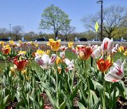 A Stand of Torch Song Tulips. This is a Spring picture of a stand of a Torch Song Tulips in Cantigny Park located in Wheaton, Illinois in DuPage County. This royalty free stock photo
