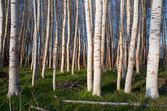 Stand of Trees White Bark Green Grass Stock Image