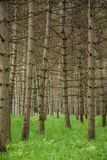 Stand of Trees. Stand of pine trees with deep grass Royalty Free Stock Image