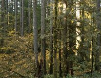 Stand of trees along a forested hiking trail. Stand of Douglas Fir evergreen trees and yellow leafed maples line the hiking trail of an old growth forest in the royalty free stock image