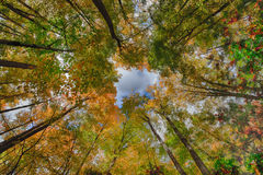 Stand of Trees in Autumn Stock Photography
