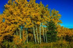 Stand of trees in fall colours. Yellow leaves and white trunks, Alberta, Canada Royalty Free Stock Photo