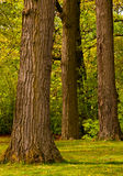 Stand of Trees Royalty Free Stock Image