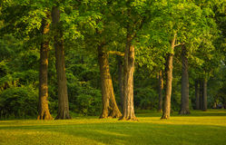 Stand of Trees Royalty Free Stock Photo