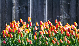 Stand of tulips Stock Image