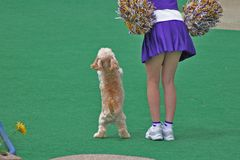 Stand up and Cheer. Canine Cheerleader Stock Photo