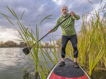 Stand up paddling on a lake. Senior paddler enjoying stand up paddling on lake among cattail Royalty Free Stock Image