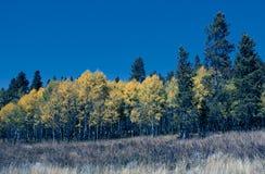 Stand von Aspen Trees mit Evergreens lizenzfreie stockfotografie