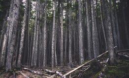 Stand von Kiefern im Wald Lizenzfreie Stockfotografie