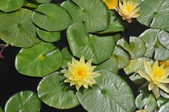 Waterlilies at Balboa Park - Yellow Blooms with Leaves Nymphaea. A stand of waterlilies with yellow blooms and green leaves float on the surface of the lily pond stock images
