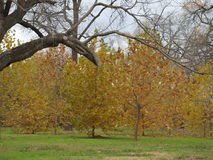A Stand of Young Sycamores royalty free stock images