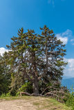 Standalone tree (conifer) Stock Photo