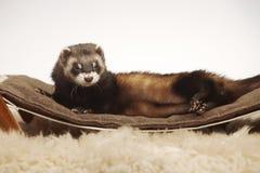 Standard color female ferret on sofa in studio - portrait stock photos