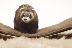 Standard color female ferret on sofa in studio - portrait stock image