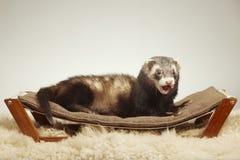 Standard color female ferret on sofa in studio - portrait royalty free stock photos