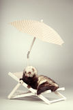 Standard color ferret portrait on beach chair in studio. Ferret portrait on beach chair in studio Stock Image